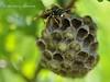 Гніздо Паперової оси * Polistes gallicus