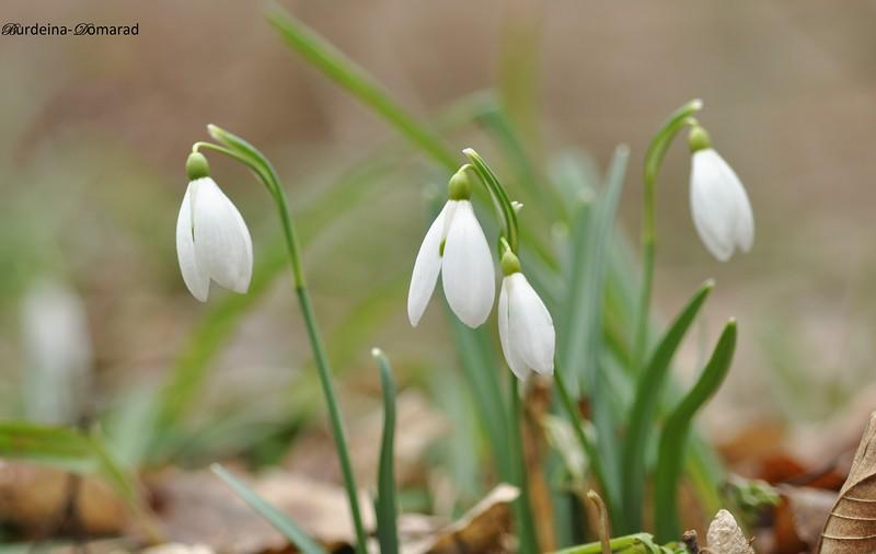 Підсніжник білосніжний (підсніжник звичайний) Galanthus nivalis L