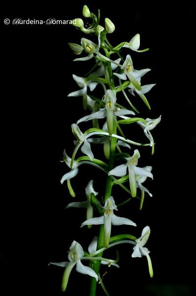 Орхідея Platanthera bifolia . Урочище Ущилівка
