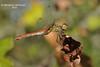 Тонкочеревець. Фонсколомба * Sympetrum fonscolombii
