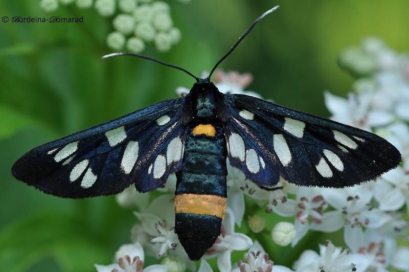 Псевдопестрянка * Syntomis nigricornis Alphéraky