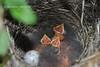 Вівсянка звичайна * Emberiza citrinella. Пташенята