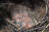 Дрізд співочий (Turdus philomelos, Turdus ericetorum)