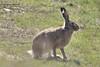 Заєць сірий, або заєць-русак (Lepus europaeus)