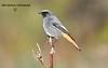 Горихвістка чорна (Phoenicurus Ochruros) Самець