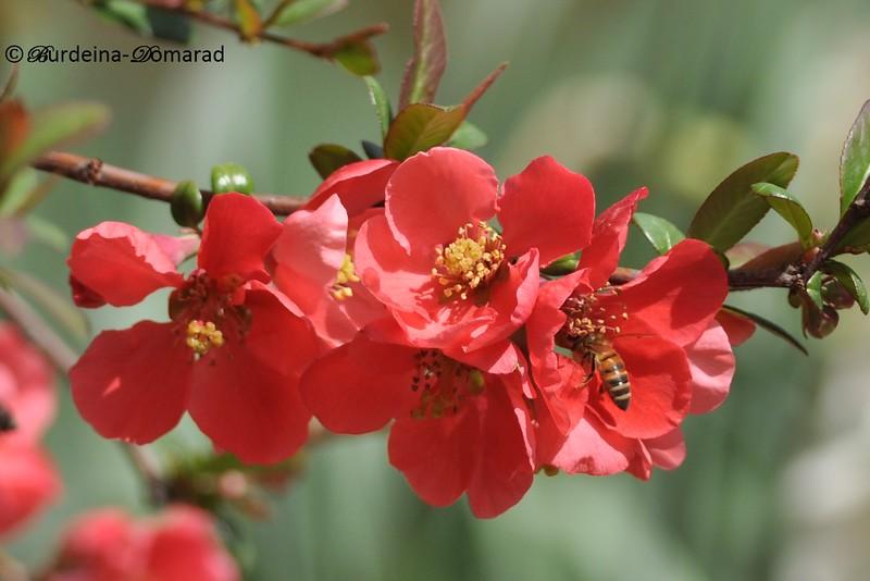 Springtime Хеномелес (Японська айва) заліщицький агроколедж
