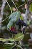 Blue Fronted Amazon Parrott