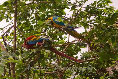 Macaw Parrott