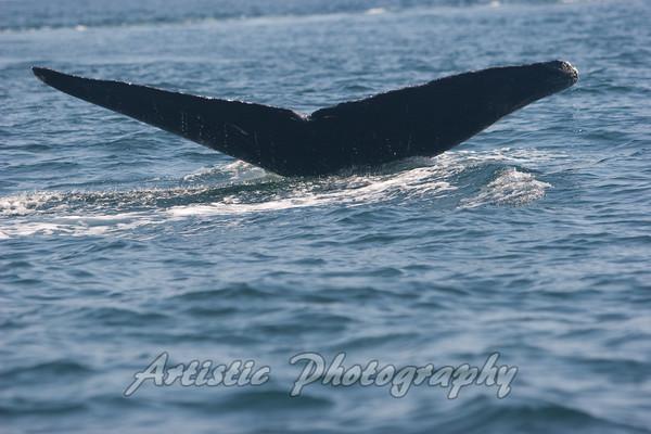 Humpback Whale, Puerto Vallarta, Mexico