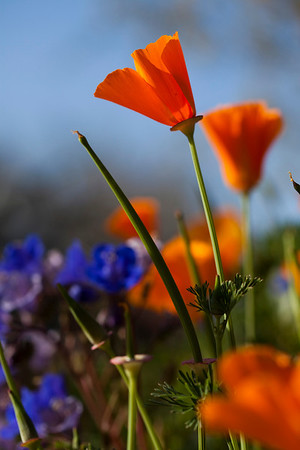 In March, I headed to the Desert Botanical Gardens in Phoenix to photograph spring flowers.