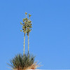 White Sands Yucca on Blue Background - New Mexico - Oil Painting