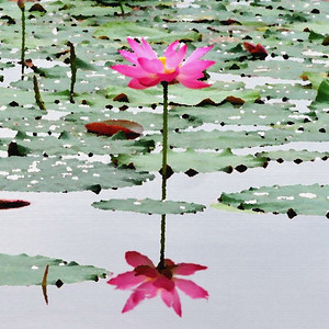 Lotus and its reflection.