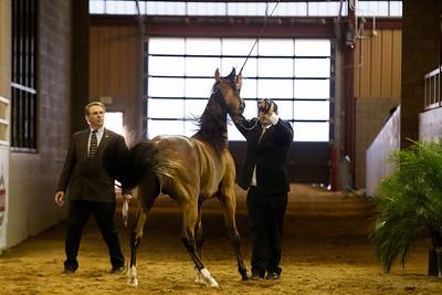 Scottsdale Arabian Horse Show, 2013