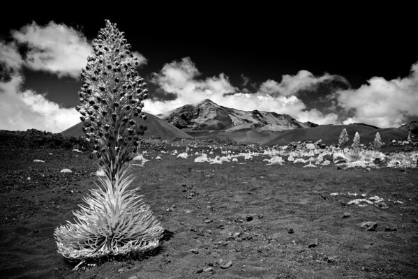 Silversword in Haleakala National Park, Maui, Hawaii