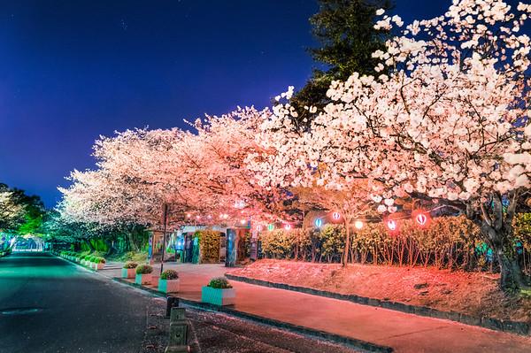 Nighttime sakura in Kumamoto.