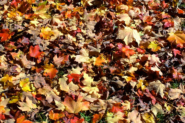 Bed of leafs, Amherst, Massachusetts, USA, 2007