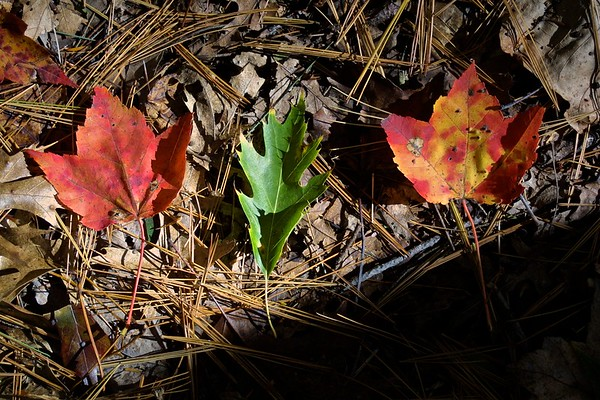 Aligned leaves, Amherst, Massachusetts, USA, 2007