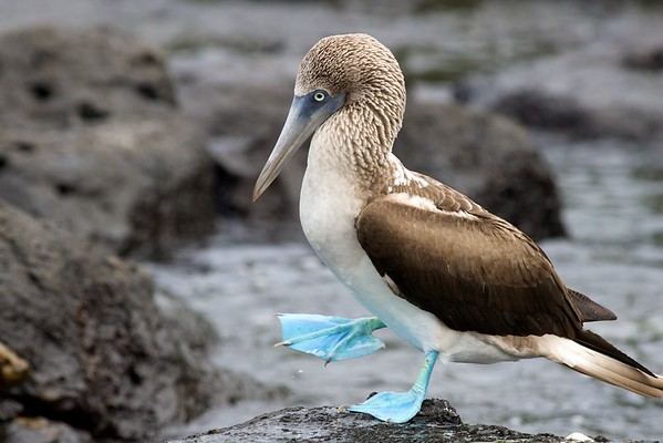 Blue-footed booby  (Galapagos)