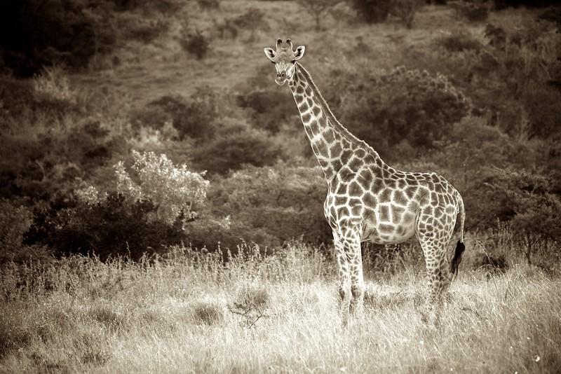 Giraffe 3 (South Africa)