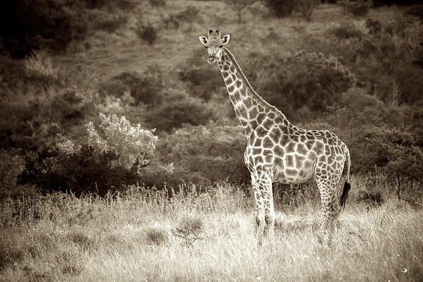 Giraffe 3 (South Africa)