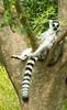 Reclining Lemur