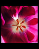 tulip3