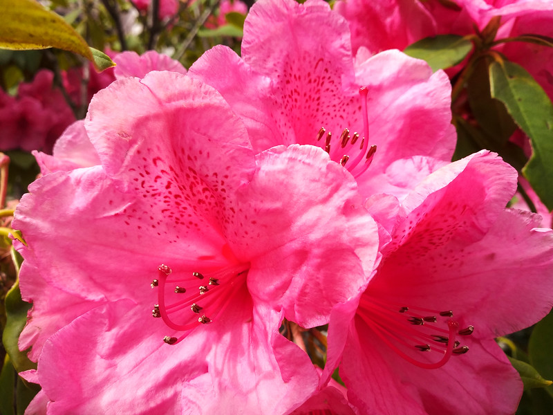 Pink Blossoms 752