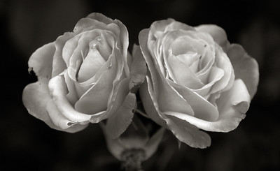 Twin Roses 1278 v3