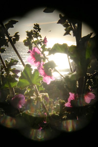 Pink Flower and the Sun Holga 937