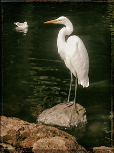 Snowy Egret and Gull