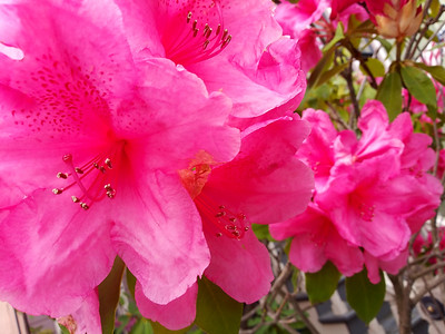 Pink Blossoms 739