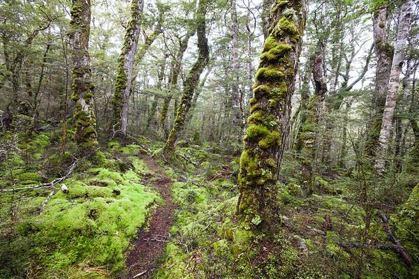 Beech forest & track, Wairaki Valley, Takitimu Conservation Area