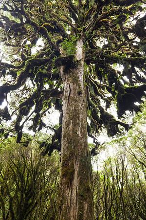 Halls totara, Pureora Forest Park