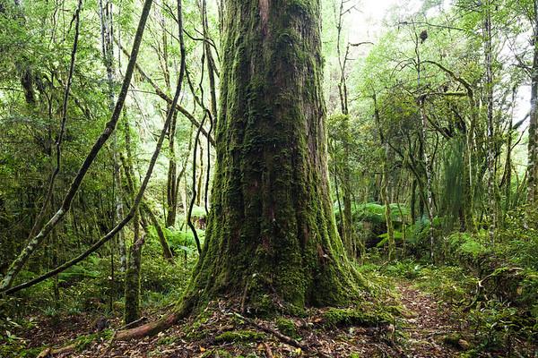Halls totara and forest understory, Pureora Forest Park