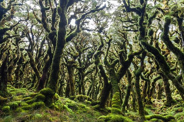 Stunted montane beech forest. Tararua Forest Park, Main Range