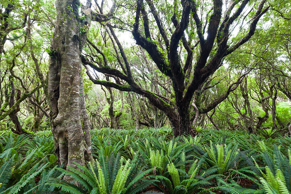 Forest interior with ferny understory, Stewart Island/Rakiura