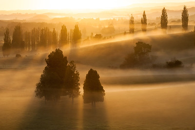 Kahikatea trees and poplar trees in early morning mist, Te Kuiti, Waitako King Country