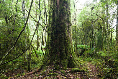 Halls totara and forest understory, Pureora Forest Park