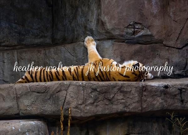 tigers7