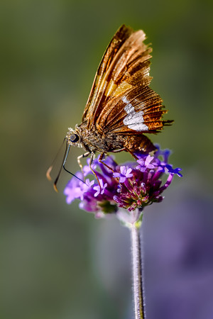Silver-spotted Skipper on Tall Verbena
