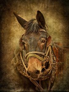 Old Mule but a Good Mule
