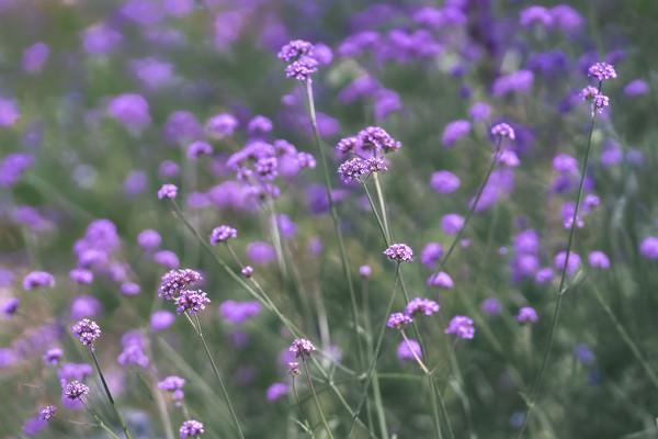 Purple Verbena