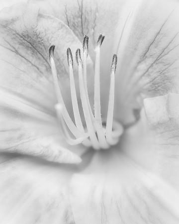 Lily close-up, B&W