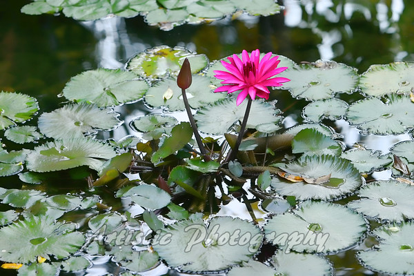 Lilly Pad Splendor