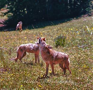 Coyote Quartet
