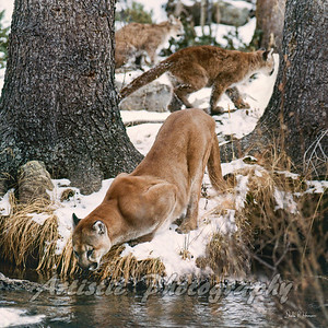 Cougar with her cubs