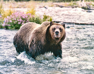 Silver Tip Grizzly