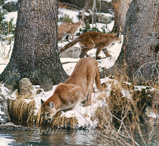 Mother Cougar with Young