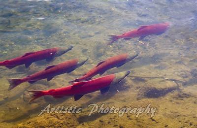 Salmon Swimming Up Stream