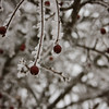 Frosted Red Berries